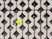 Żółty kwitnący dandelion kwiat kiełkuje między latticed betonowymi płytami w dniu Życie podbija śmierć i cywilizację d zdjęcia royalty free