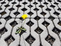 Żółty kwitnący dandelion kwiat kiełkuje między latticed betonowymi płytami w dniu Życie podbija śmierć i cywilizację d zdjęcie royalty free