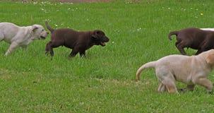 Żółty Labrador Retriever Labrador Retriever i Brown, grupa szczeniaki Bawić się na gazonie, Normandy w Francja, zwolnione tempo zbiory