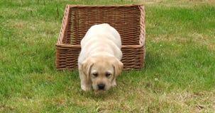 Żółty Labrador Retriever, szczeniak Bawić się w koszu, Normandy w Francja, zwolnione tempo zbiory