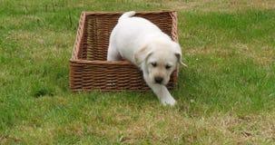 Żółty Labrador Retriever, szczeniak Bawić się w koszu, Normandy w Francja, zwolnione tempo zbiory wideo