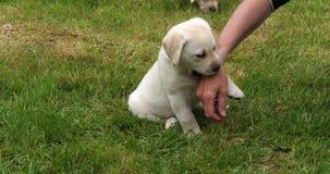 Żółty Labrador Retriever, szczeniak Bawić się z jego kochanką na gazonie, Normandy w Francja, zwolnione tempo zbiory