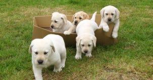 Żółty Labrador Retriever, szczeniaki Bawić się w kartonie, Normandy w Francja, zwolnione tempo zbiory