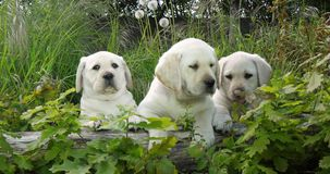 Żółty Labrador Retriever, szczeniaki w roślinności, Normandy w Francja, zwolnione tempo zbiory