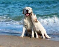 Żółty labradora szczeniak i morze Zdjęcia Royalty Free
