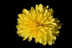 Żółty lato chryzantemy kwiat z długimi płatkami w górę obrazy stock