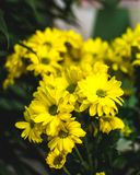 Żółty lato kwitnie Margarita Romantyczny kwiat Zdjęcia Royalty Free