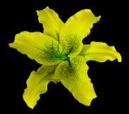 Żółty leluja kwiat na czarnym odosobnionym tle z ścinek ścieżką żadny cienie Dla projekta, tekstura, granicy, rama, backgr Obrazy Stock
