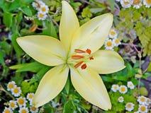 Żółty leluja kwiat otaczający białymi stokrotkami obrazy royalty free