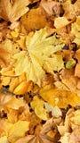Żółty liść fotografia royalty free