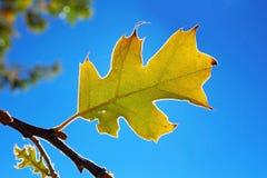 Żółty liść Czarny Dębowy drzewo w jesieni Zdjęcia Stock