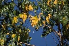 Żółty liść Indiański korkowy drzewo Obrazy Royalty Free