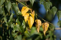 Żółty liść Indiański korkowy drzewo Fotografia Royalty Free