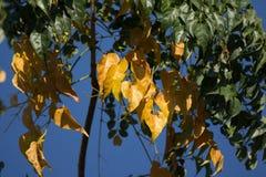Żółty liść Indiański korkowy drzewo Obraz Stock