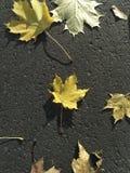 Żółty liść klonowy w centrum ciemny tło obraz royalty free