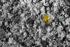 Żółty liść na czarny i biały tle Zdjęcia Royalty Free