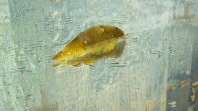 Żółty liść na mokrym szkle zdjęcia stock