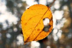 Żółty liść na Pogodnym jesień dniu z dziurą w Nim Zamazani drzewa w tle Zmiana sezonu poj?cie zdjęcia royalty free
