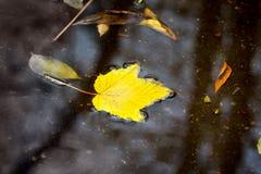 Żółty liść w kałuży Odbicie w wodzie drzewa Raja obrazy royalty free