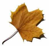 Żółty liści zdjęcia stock