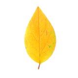 Żółty liści obrazy stock