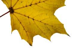 Żółty liści makro Zdjęcie Stock