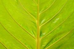 Żółty liścia tło Obrazy Royalty Free