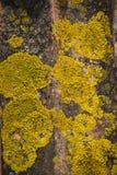 Żółty liszaj fotografia stock