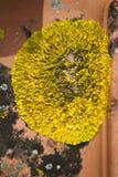 Żółty liszaj fotografia royalty free