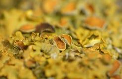 Żółty liszaj Makro- fotografia - złotorosta parietina - fotografia royalty free
