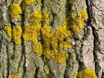Żółty liszaj na barkentynie drzewo zdjęcia royalty free