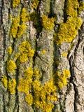 Żółty liszaj na barkentynie drzewo zdjęcie stock