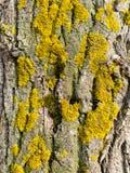 Żółty liszaj na barkentynie drzewo obraz royalty free