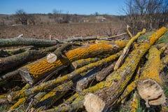 Żółty liszaj na gałąź, rżnięty drzewo uderzał pasożytniczym mech fotografia stock