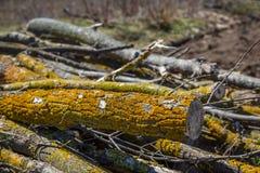 Żółty liszaj na gałąź, rżnięty drzewo uderzał pasożytniczym mech zdjęcia royalty free