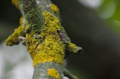 Żółty liszaj na starej gałąź Zakończenie zdjęcia stock