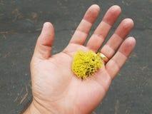 Żółty liszaj w palmie ręka z złocistym pierścionkiem obrazy stock