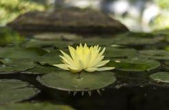 Żółty loto zdjęcie stock