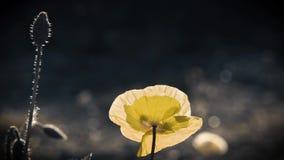 Żółty makowy kolor Słońca ` s promienie iluminują makowego kwiatu zdjęcie wideo