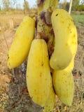 Żółty melonowiec Obraz Royalty Free