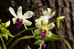 Żółty mieszanka zmroku menchii orchidei kwiat Obraz Royalty Free