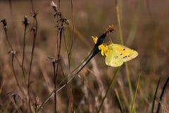 żółty motyl obraz royalty free