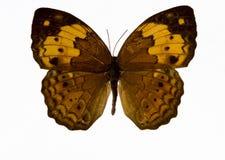 Żółty motyl Zdjęcia Royalty Free