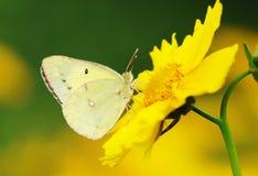 Żółty motyl Fotografia Stock