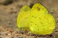żółty motyl Zdjęcie Royalty Free