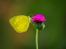żółty motyl Obrazy Royalty Free