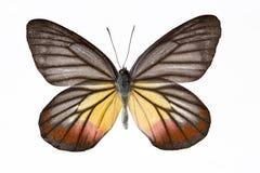 Żółty motyl czarnego Obraz Royalty Free