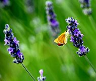 Żółty motyl na kwitnącym fiołkowym lawendowym kwiacie Obrazy Royalty Free