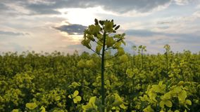 Żółty nafcianego ziarna gwałt w zielonej trawie i niebieskim niebie Wiosna czas w Norfolk, Anglia Żółci kwiaty nafciany ziarno zbiory wideo
