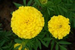 Żółty nagietek kwitnie w ogródzie Zdjęcia Royalty Free